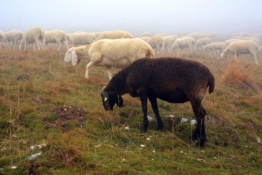 sheep-2805053_960_720